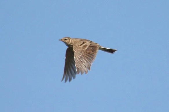 Skylark. Photo by Mick Dryden