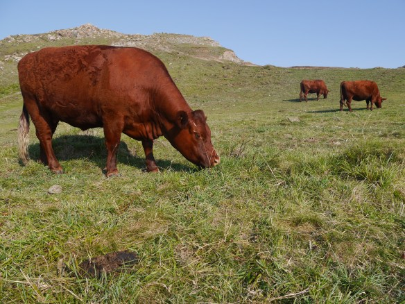 Ruby Red cattle grazing the cliff tops at Kynance cove. Photo by Liz Corry.