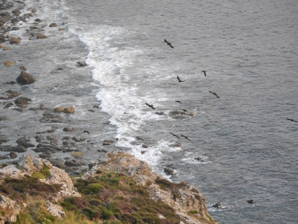 Choughs flying along the Cornish coast. Photo by Liz Corry.