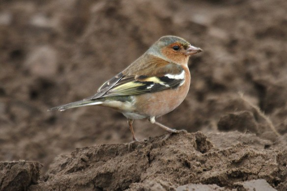 Chaffinch (5). Photo by Mick Dryden
