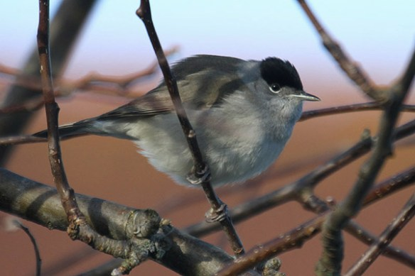 Blackcap (2). Photo by Mick Dryden