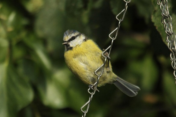Blue tit (2). Photo by Mick Dryden