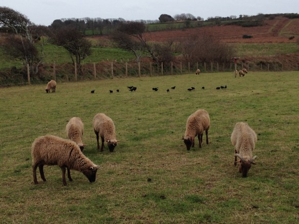 Choughs foraging alongside the sheep in the aviary field; wherever the sheep go, the choughs go too! Photo by Harriet Clark