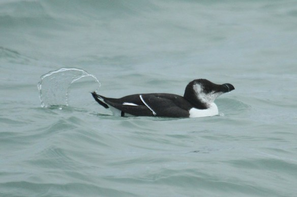 Razorbill (2). Photo by Mick Dryden