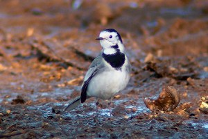 White wagtail. Photo by Regis Perdriat