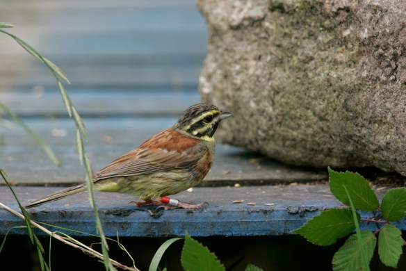 Colour-ringed adult male Cirl Bunting feeding at the Cornish release site. Ringing has provided valuable insights into the life-history of the species. (Andy Hay. rspb-images.com)