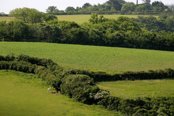 Habitat of Cirl Bunting on a Cornish farm. Thick hedgerows protect nesting Cirl Buntings from disturbance. (Andy Hay. rspb-images.com)