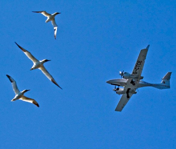 Gannets Les Etacs Bill Black, courtesy Alderney Wildlife Trust