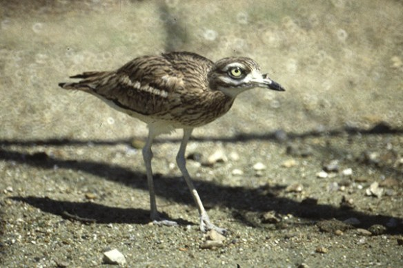 Stone curlew. Photo by Mick Dryden