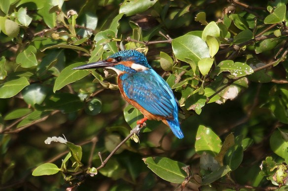 Kingfisher. Photo by Mick Dryden