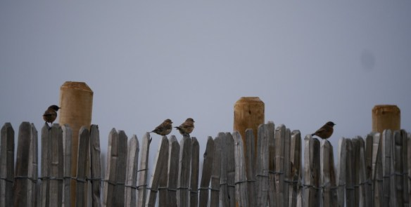 Not choughs...stonechat at Plemont. Photo by Liz Corry.