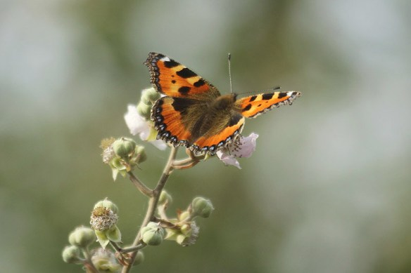 Small tortoiseshell. Photo by Mick Dryden