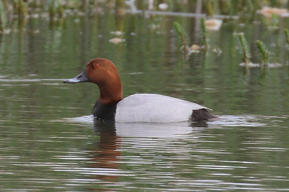 Common pochard. Photo by Mick Dryden