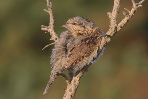 Wryneck. Photo by Mick Dryden