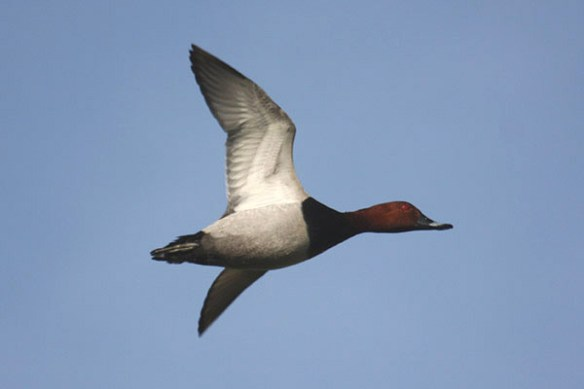 Common pochard male (2). Photo by Mick Dryden