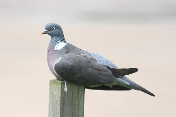 Wood pigeon (2). Photo by Mick Dryden