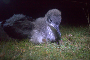 manx chick credit Nick Tomalin