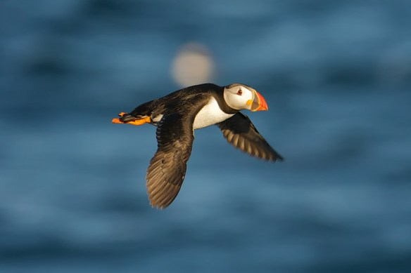 Puffin. Photo by Paul Marshall