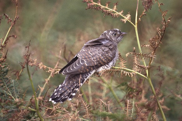 Common cuckoo juvenile. Photo by Mick Dryden