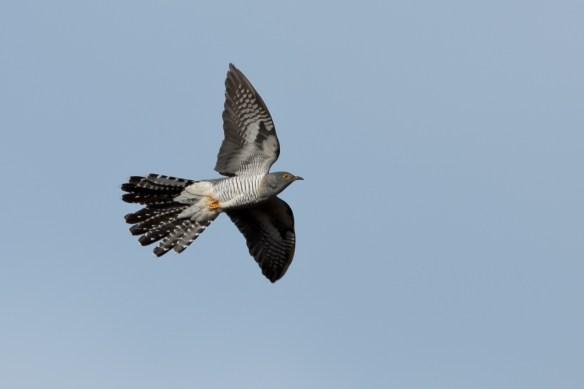 Common cuckoo. Photo by Romano da Costa