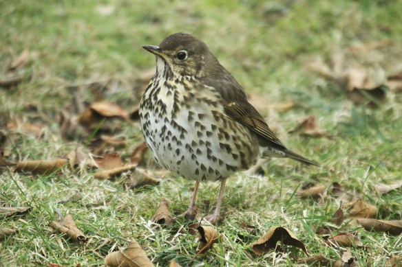 song-thrush-photo-by-mick-dryden