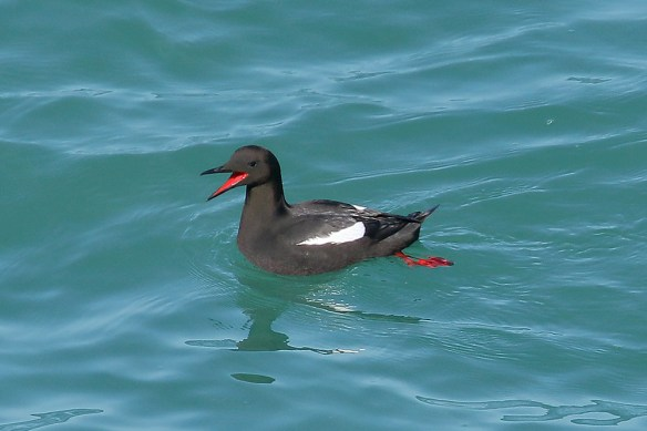 Black guillemot. 31-3-2017 Jersey. Photo by Mick Dryden