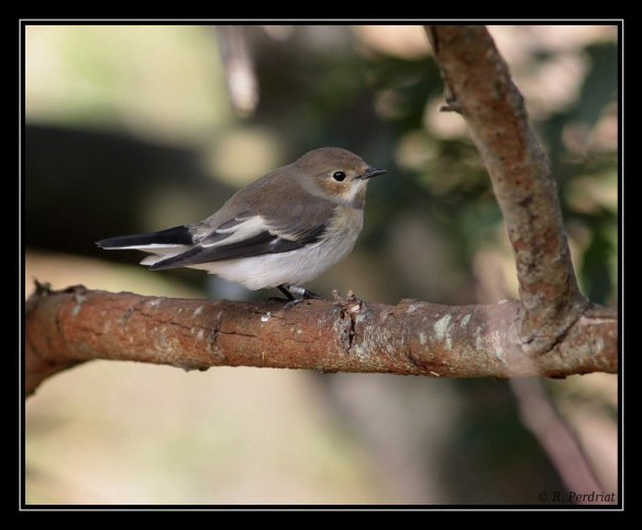 Pied flycatcher. Photo by Regis Perdriat
