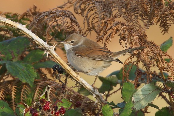 Common whitethroat (2). Photo by Mick Dryden