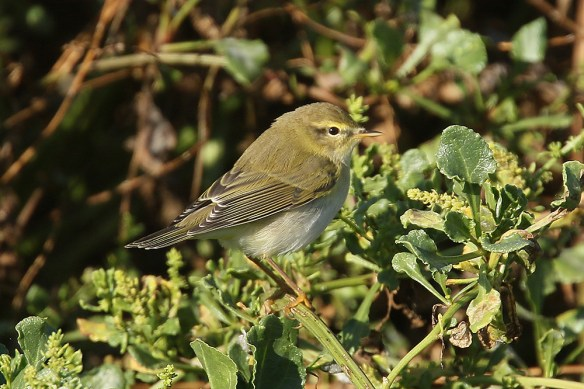 Willow warbler (6). Photo by Mick Dryden
