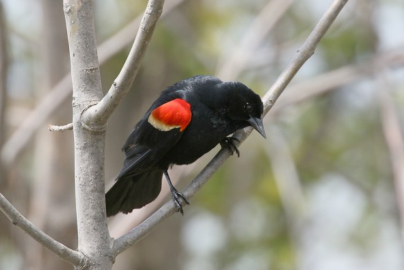 Red-winged blackbird. Photo by Mick Dryden