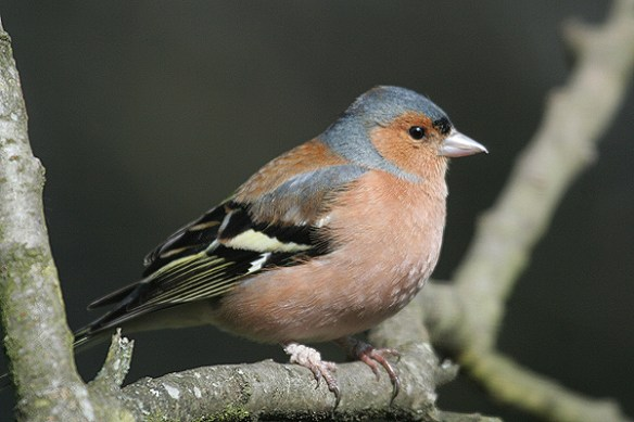 Chaffinch 2. Photo by Mick Dryden