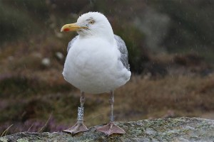 Herring gull (2). Photo by Mick Dryden