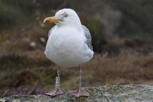 Herring gull (2). Photo by Mick Dryden