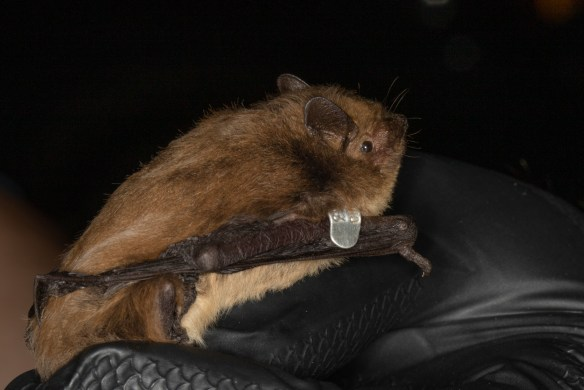 Pipistrellus nathusii photo taken under licence by Miranda Collett