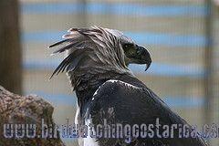 [:en]Bird Harpy Eagle[:es]Ave Aguila Arpía[:]