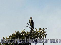 [:en]Bird Creasted Eagle[:es]Ave Aguila Crestada[:]