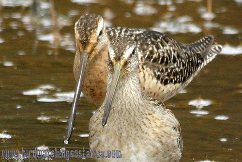 [:en]Bird Short-billed Dowitcher[:es]Ave Agujeta Común[:]