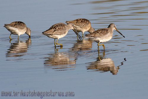 [:en]Bird Long-bille Dowitcher[:es]Ave Agujeta Silbona o Piquilarga[:]