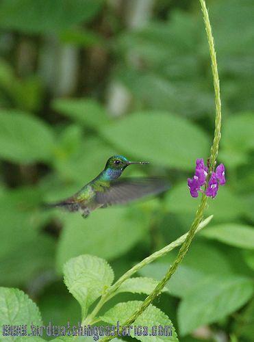 [:en]Bird Charming Hummingbird[:es]Ave Amazilia Corona de Berilo[:]