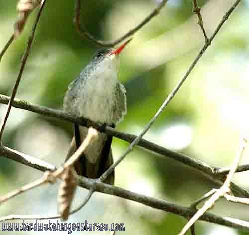 [:en]Bird White-bellied Emerald[:es]Ave Amazilia Pechiblanca[:]