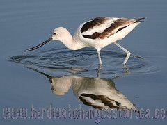[:en]Bird American Avocet[:es]Ave Avoceta Americana[:]