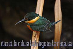 [:en]Bird American Pygmy Kingfisher[:es]Ave Martín Pescador Enano[:]