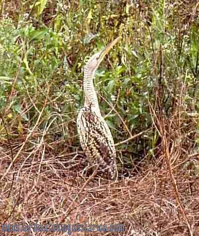 [:en]Bird Pinnated Bittern[:es]Ave Avetoro Neotropical[:]