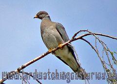 [:en]Bird Band-tailed Pigeon[:es]Ave Paloma Collareja[:]