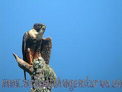 [:en]Bird Bat Falcon[:es]Ave Halcón Cuelliblanco[:]