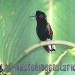 [:en]Bird Black-bellied Hummingbird[:es]Ave Colibrí Pechinegro[:]