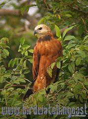 [:en]Bird Black-collared Hawk[:es]Ave Gavilán de Ciénega[:]