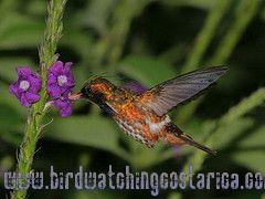 [:en]Bird Black-crested Coquette[:es]Ave Coqueta Crestinegra[:]
