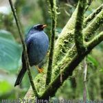 [:en]Bird Black-faced Solitaire[:es]Ave Jilguero, Solitario Carinegro[:]
