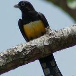 [:en]Bird Black-headed Trogon[:es]Ave Trogón Cabecinegro[:]
